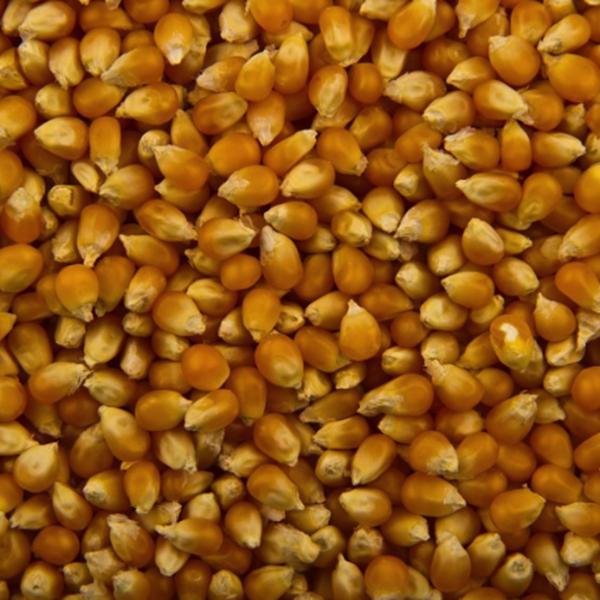 A nyár örök slágere a főtt kukorica, de ehetem, ha fogyni akarok?
